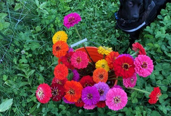 Black puppy dog next orange bucket filled with zinnias